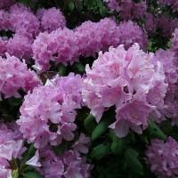 Рододендроны для вашего сада
