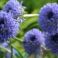 Букашник многолетний (семена)