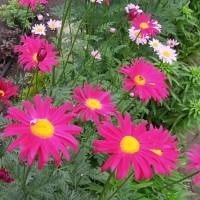 Пиретрум розовый цв. малиновые (семена)